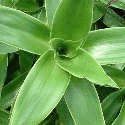 Золотой ус – растение с противомикробным действием